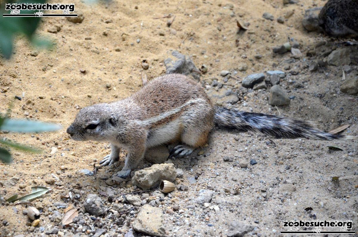 Kap-Borstenhörnchen  (5)