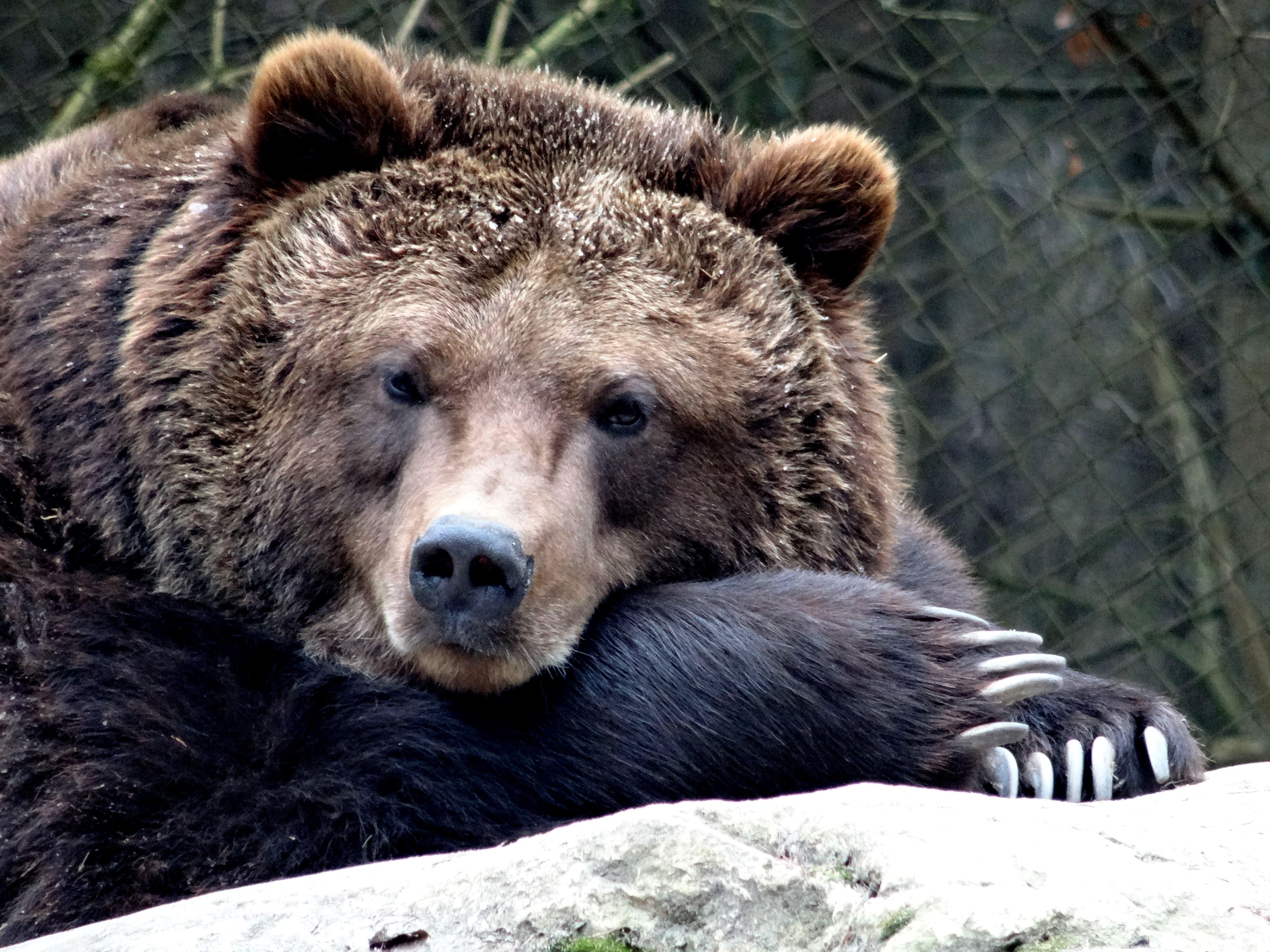 Braunbär  (7)