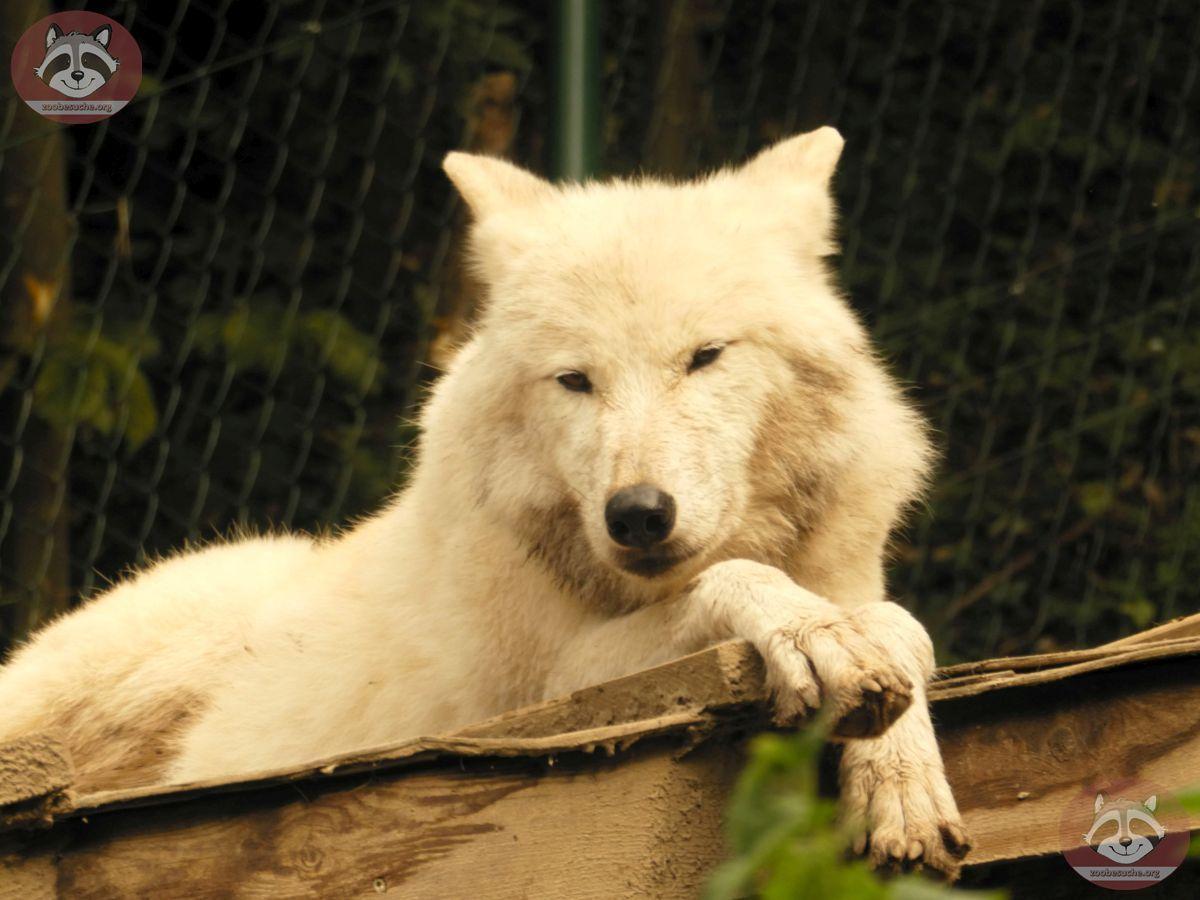 Polarwolf (6)
