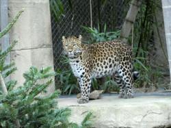 Leopardin Cleo  (5)