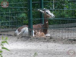 Mhorr Gazelle  (1)