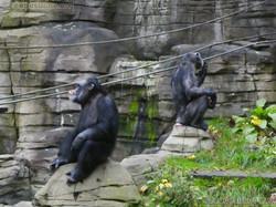 Schimpansen  (6)