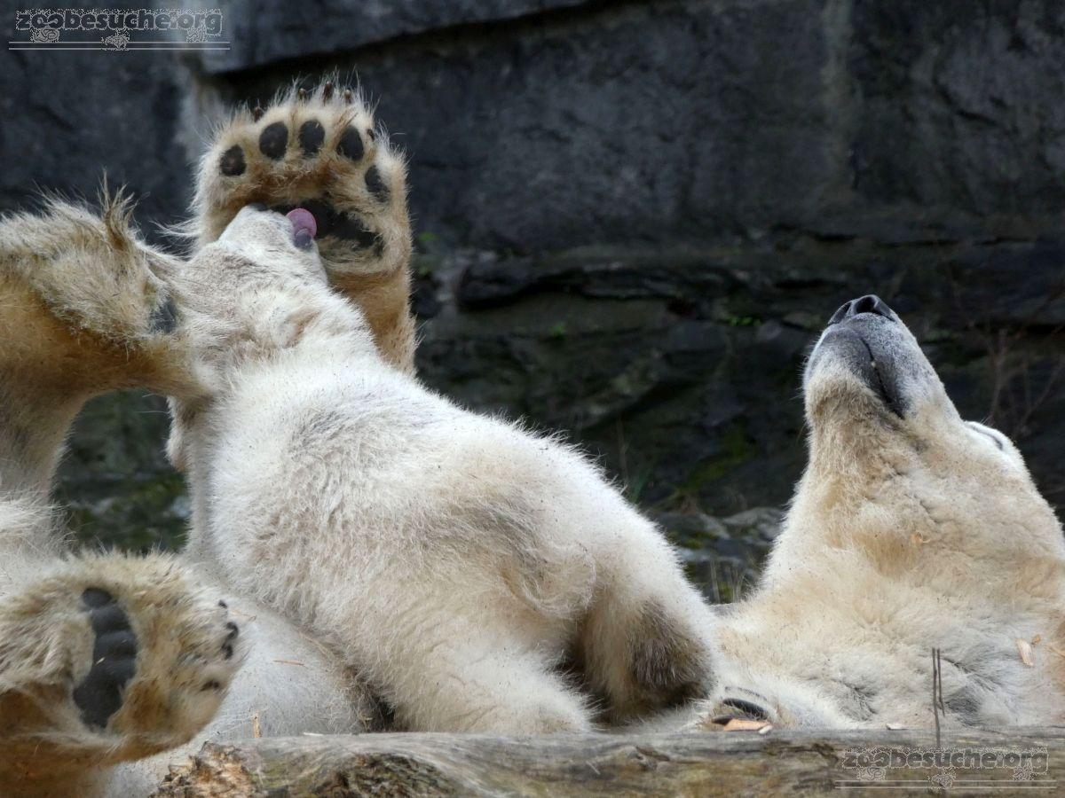 Eisbär  (70)