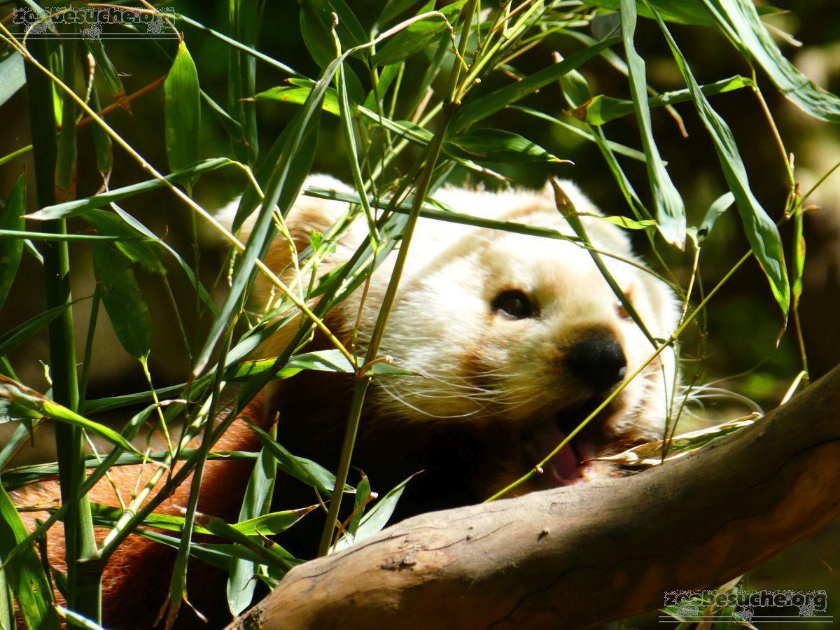 Roter Panda  (21)