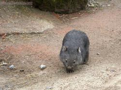 Wombat Maja  (13)