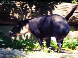 Mittelamerikanischer Tapir  (17)