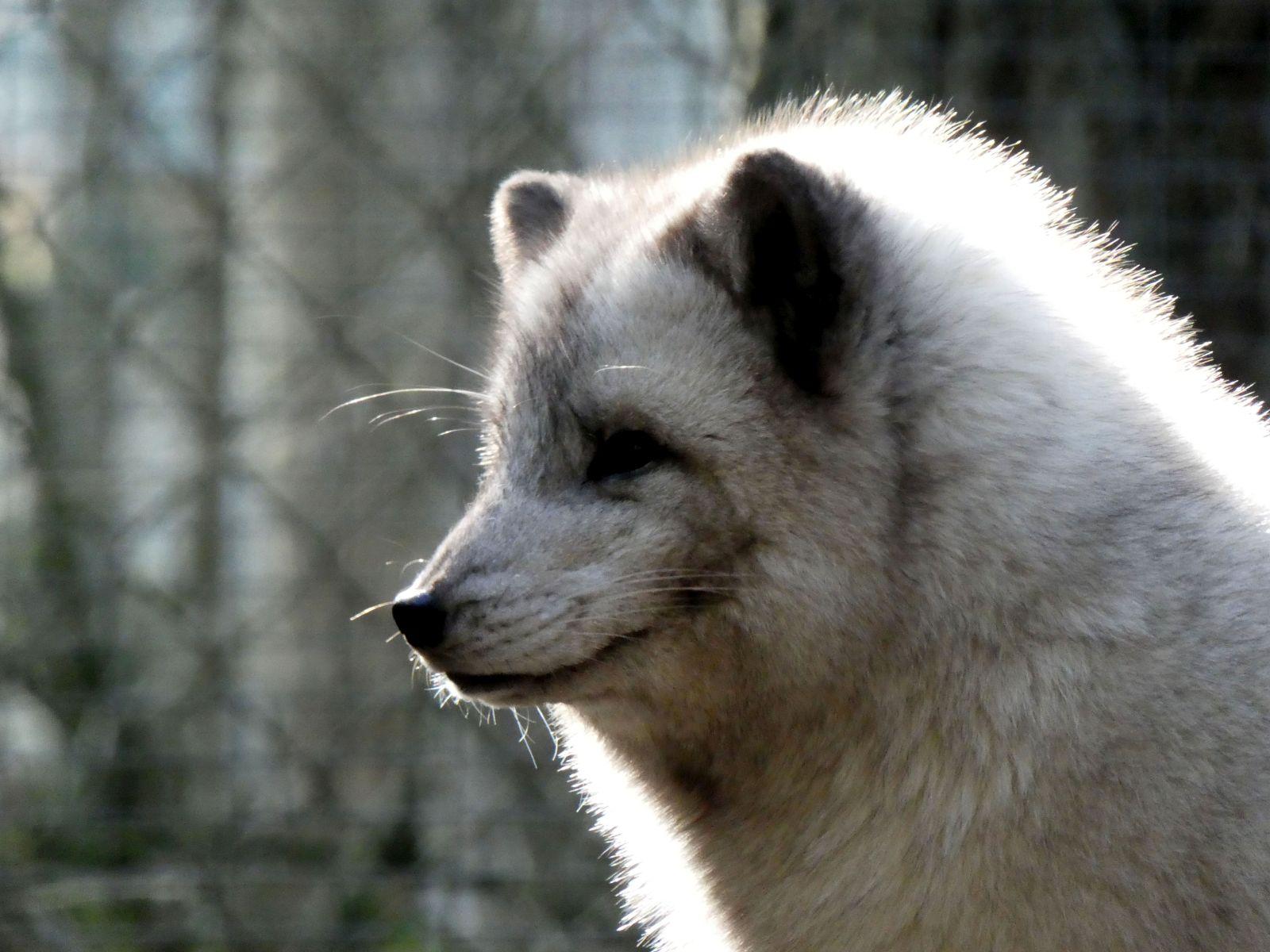 Polarfuchs  (8)