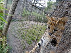 Serval (4)