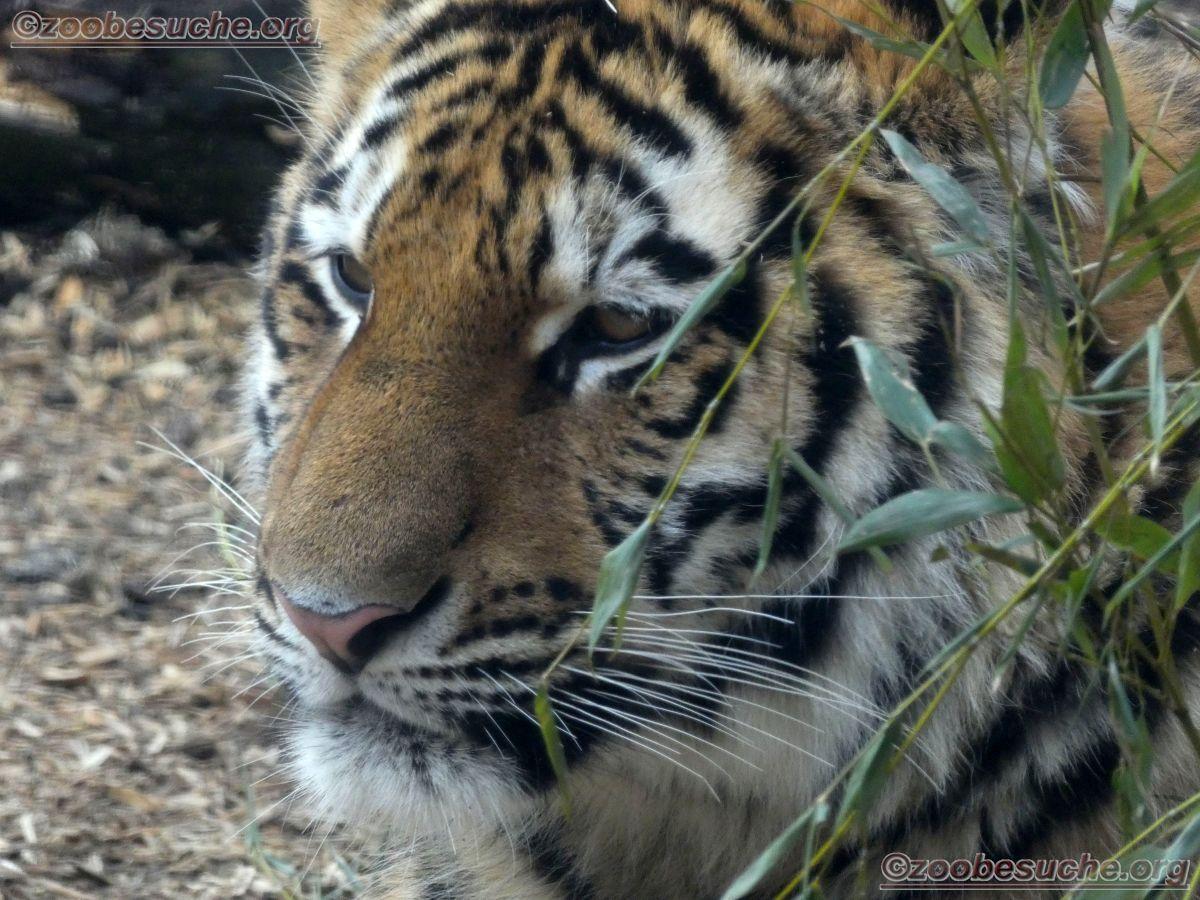 Tiger  (3)