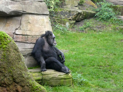 Schimpanse Max (1)
