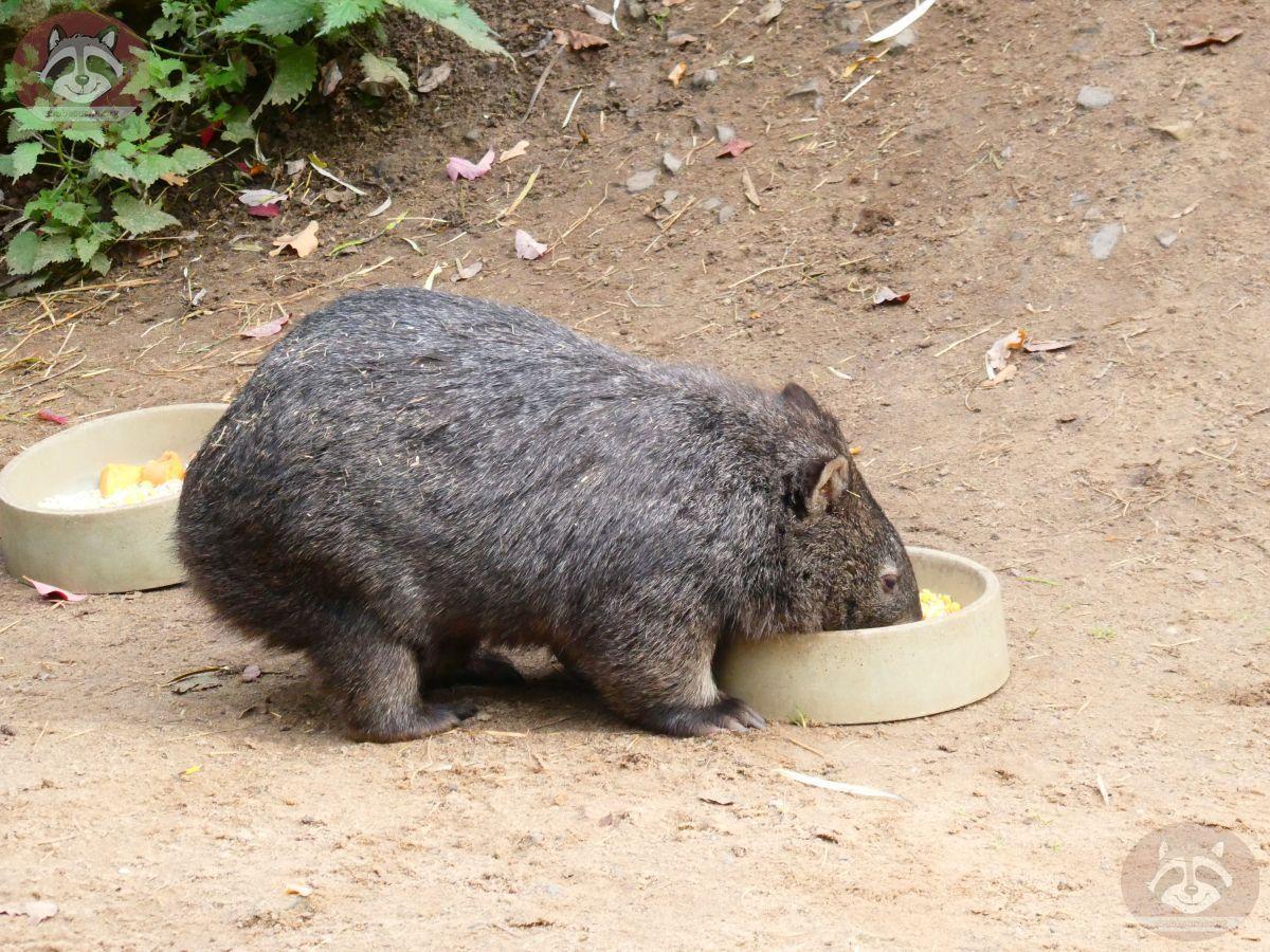 Wombat (7)
