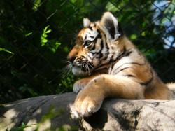 Tiger  (41)