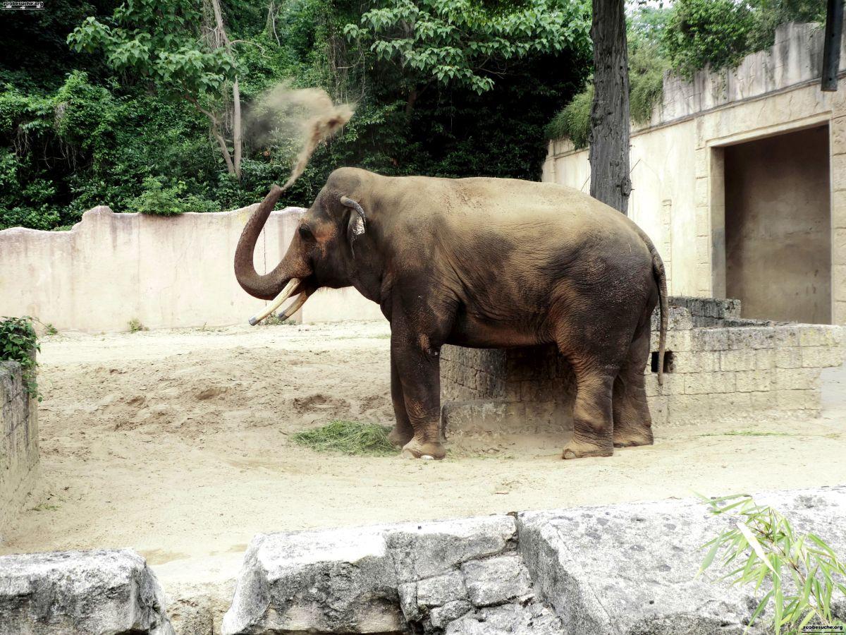 Elefantenbulle Nikolai  (12)