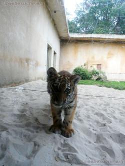 Tiger Jungtier Jaro  (4)