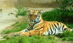Tigerjungtiere  (9)