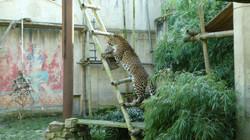Leopard Julius  (7)