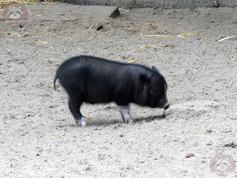 Hängebauchschwein (2).jpg