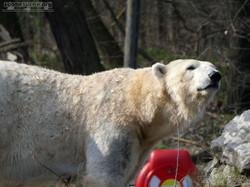 Eisbär  (74)