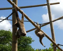 Gibbon  (9)