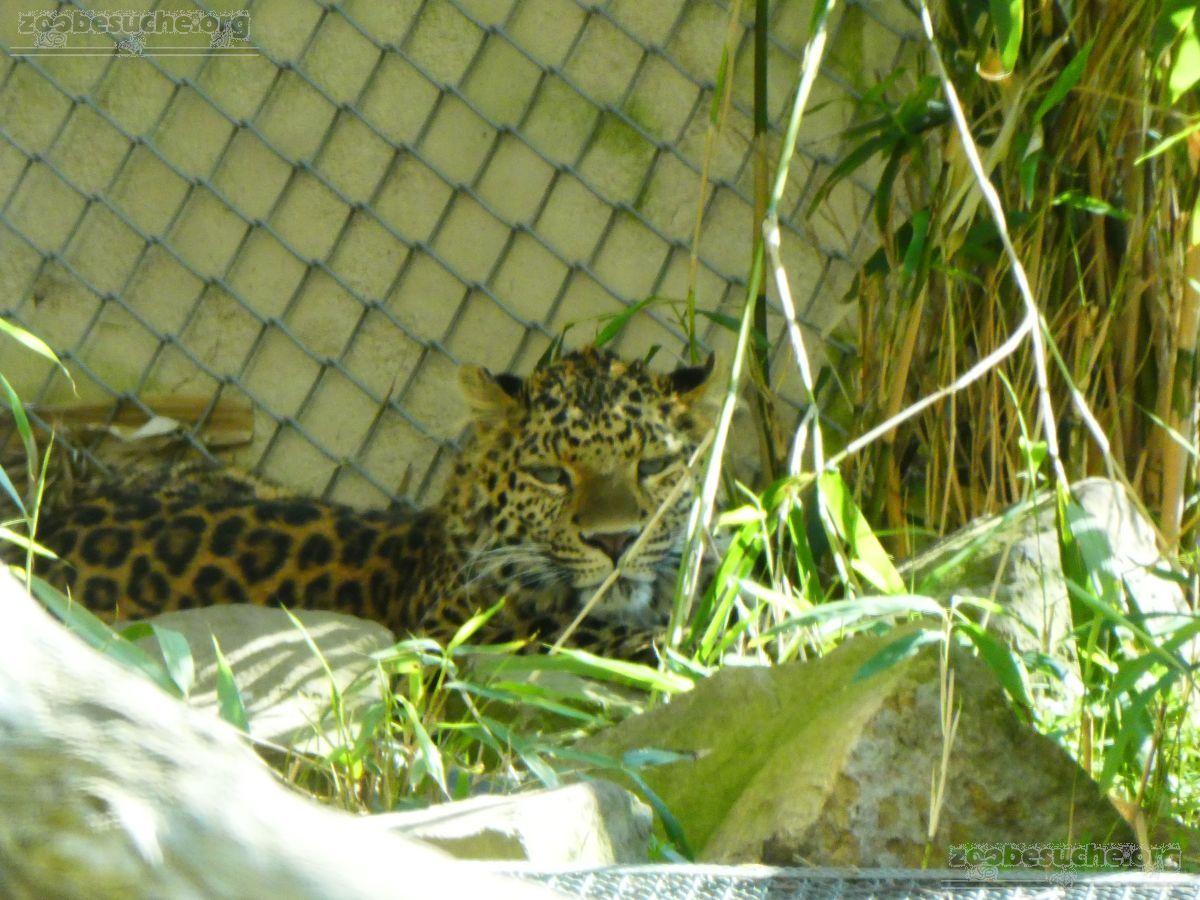 Leopardin Cleo