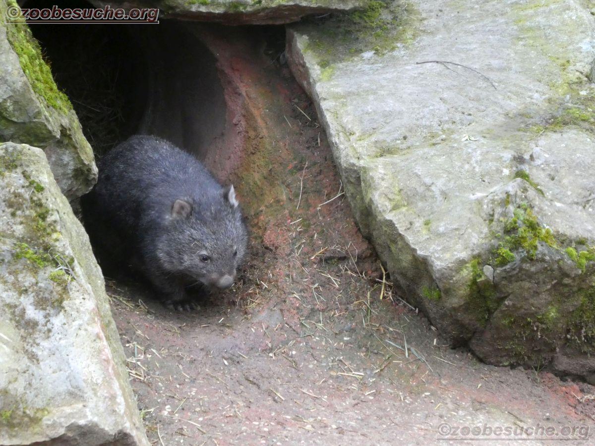 Wombat Maja  (3)