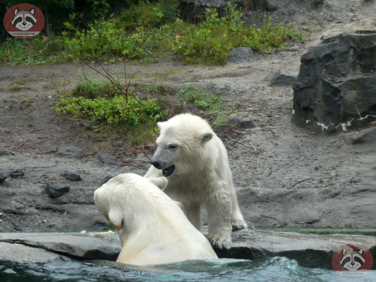 Eisbären_Milana_udn_Nana_(6)