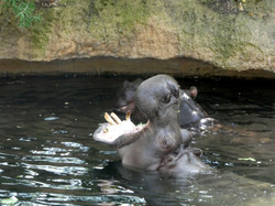 Flusspferd  (7)