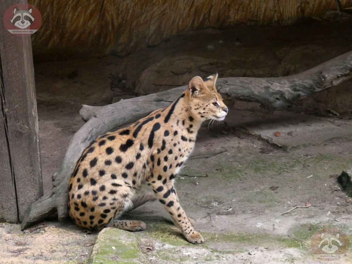 Serval Servus (5)