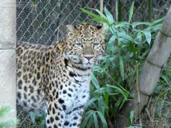 Leopardin Cleo  (2)