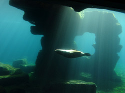 Südamerikanischer Seebär  (2)