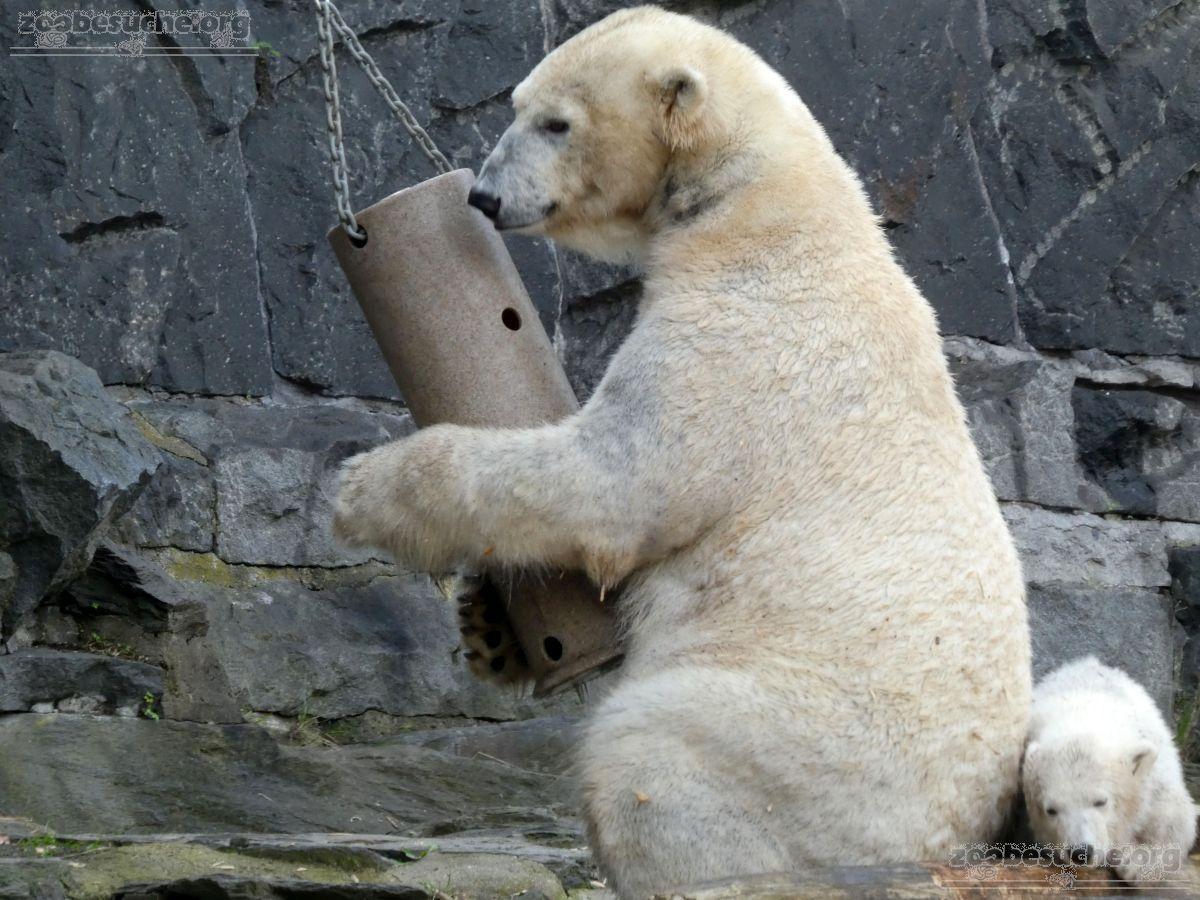 Eisbär  (36)