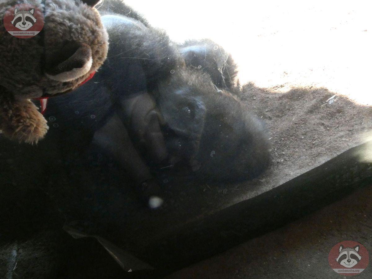 Gorilla Buzandi mit Wuschel (2)