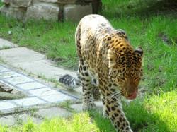 Leopard Julius  (11)