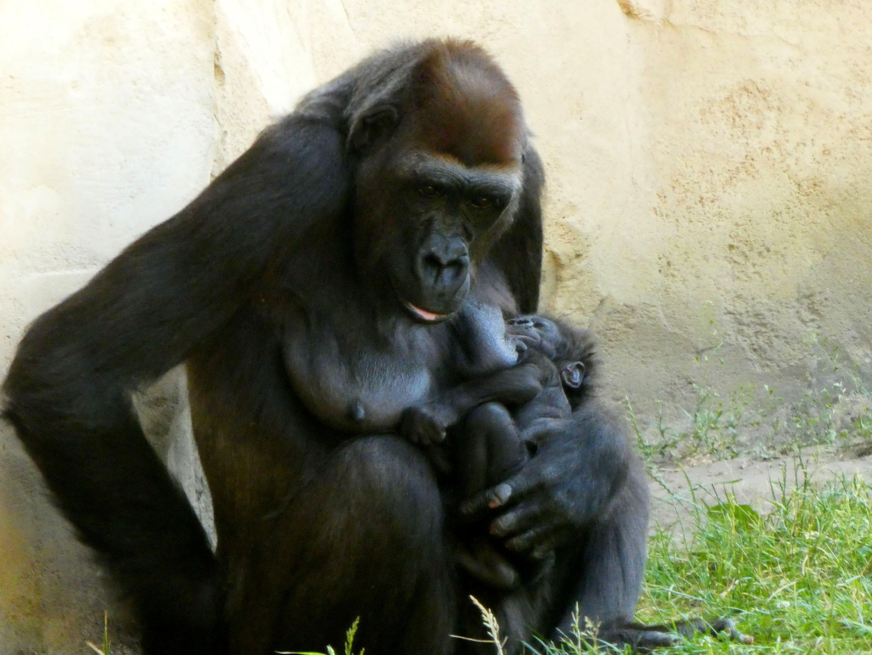 Gorilla  (19)