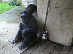 Wuschel und Schimpanse Maxi