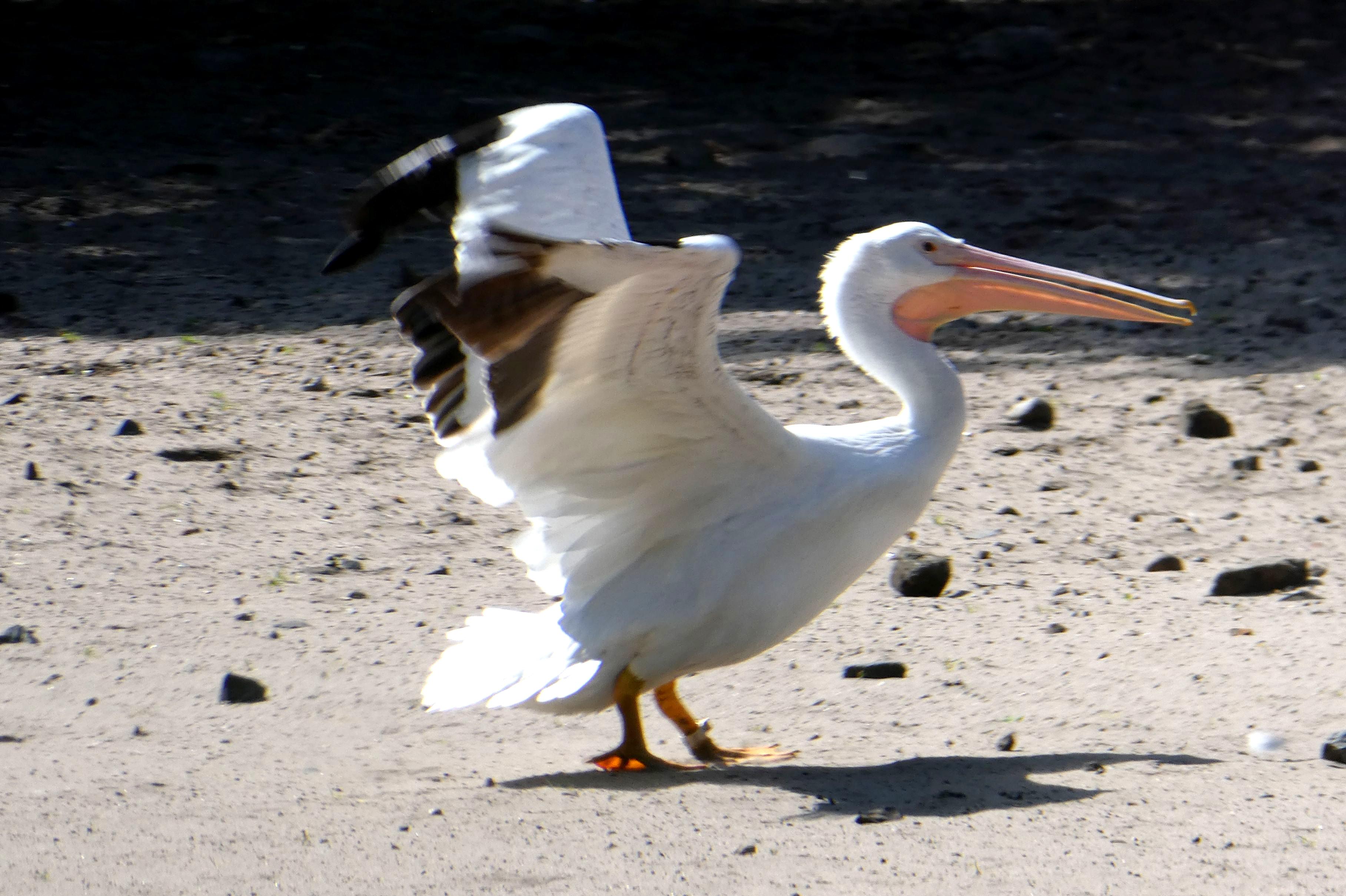 Pelikan  (2)