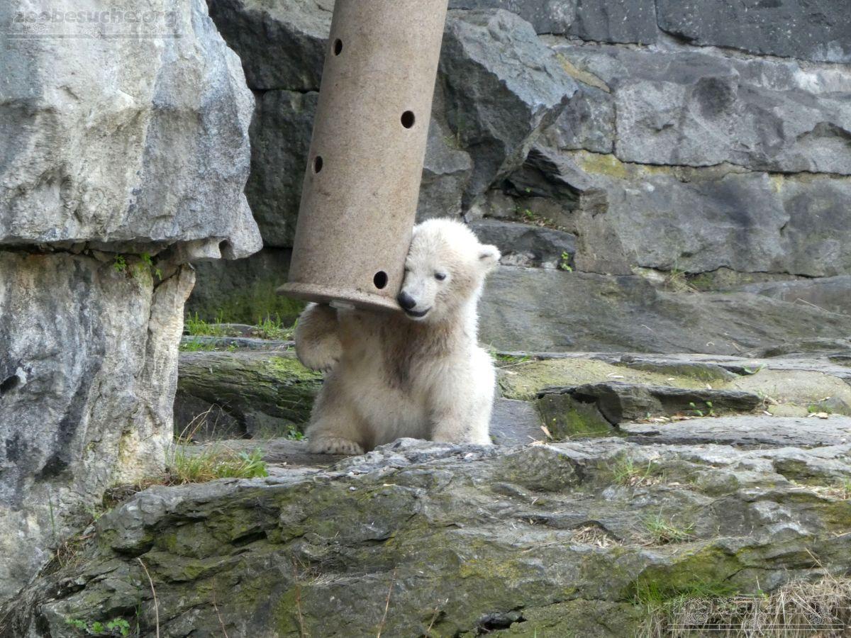 Eisbär  (20)