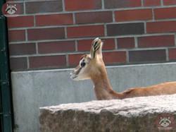 Mhorr Gazelle  (2)