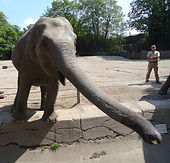 Eelefant