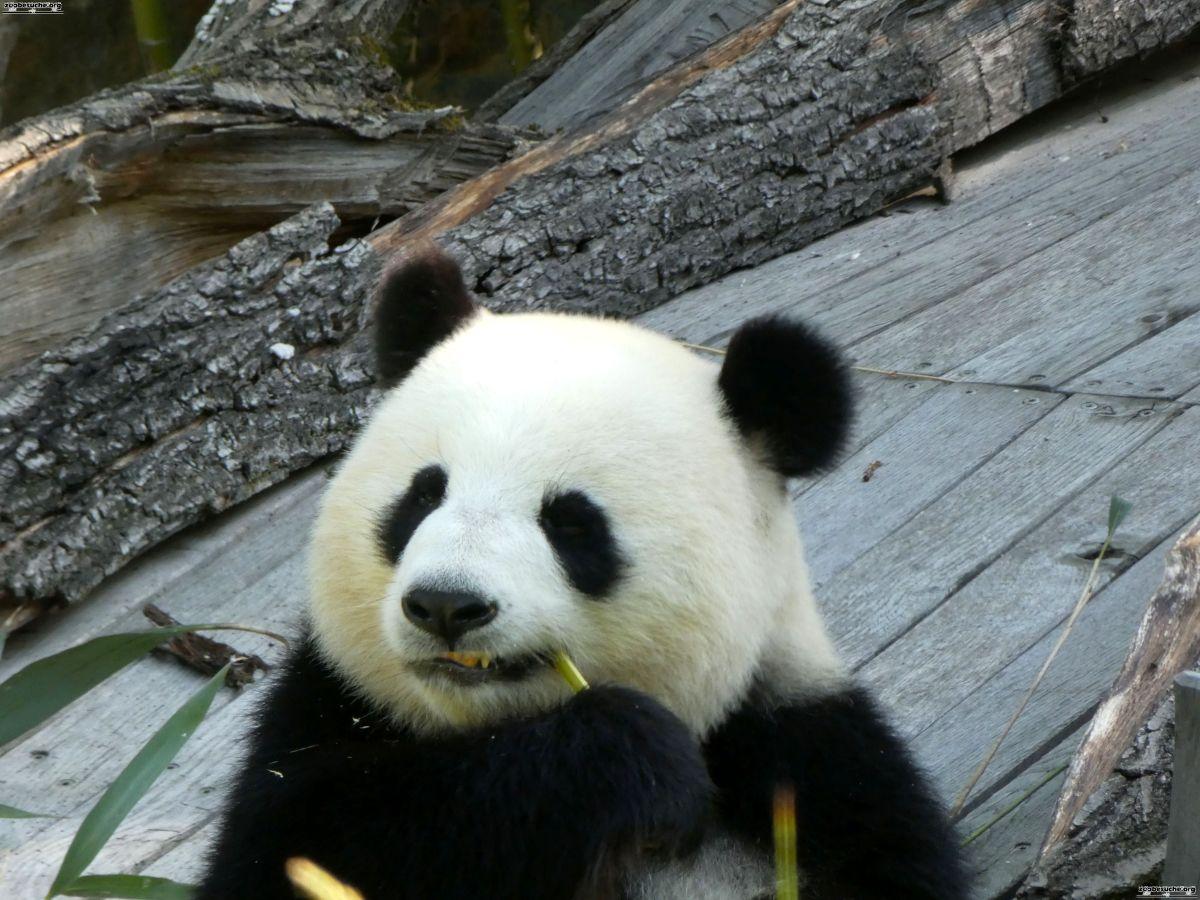 Panda  (188)
