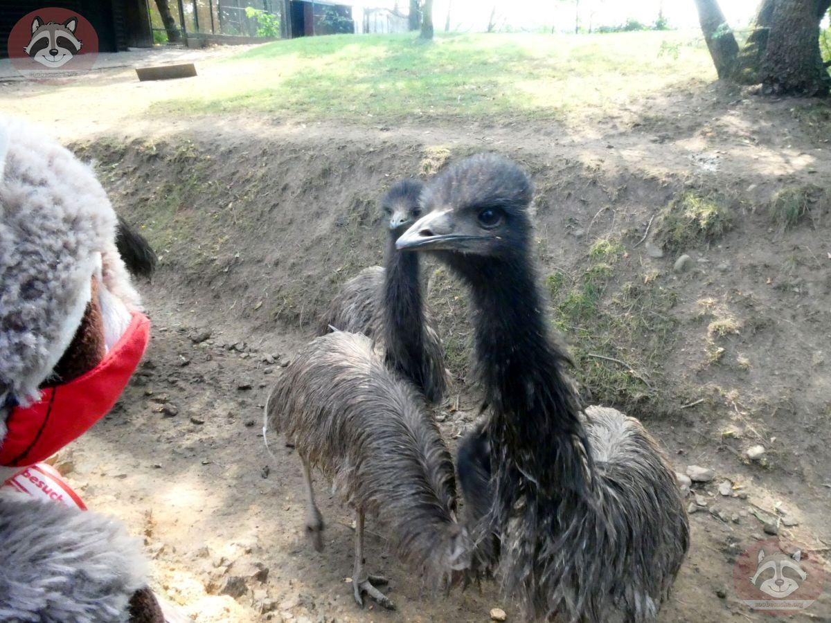 Emu mit Wuschel