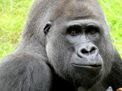 Gorilla  (2)