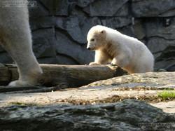 Eisbär  (80)