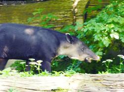 Mittelamerikanischer Tapir  (12)