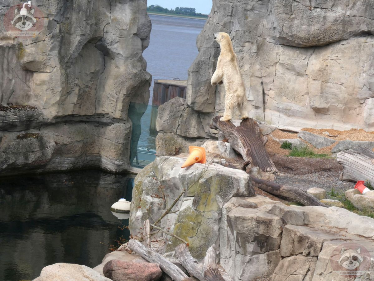 Eisbär Loyd (1)