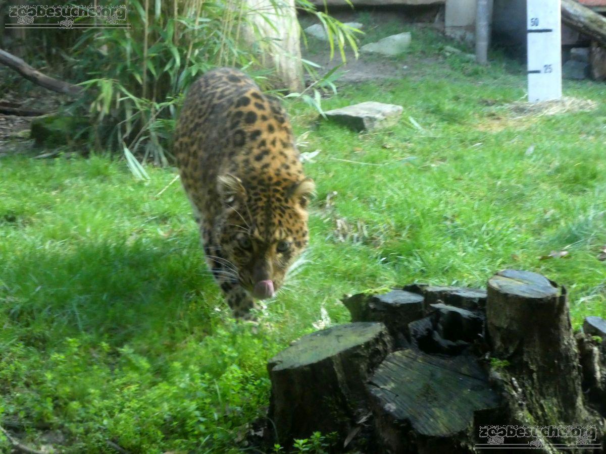 Leopard Julius  (39)