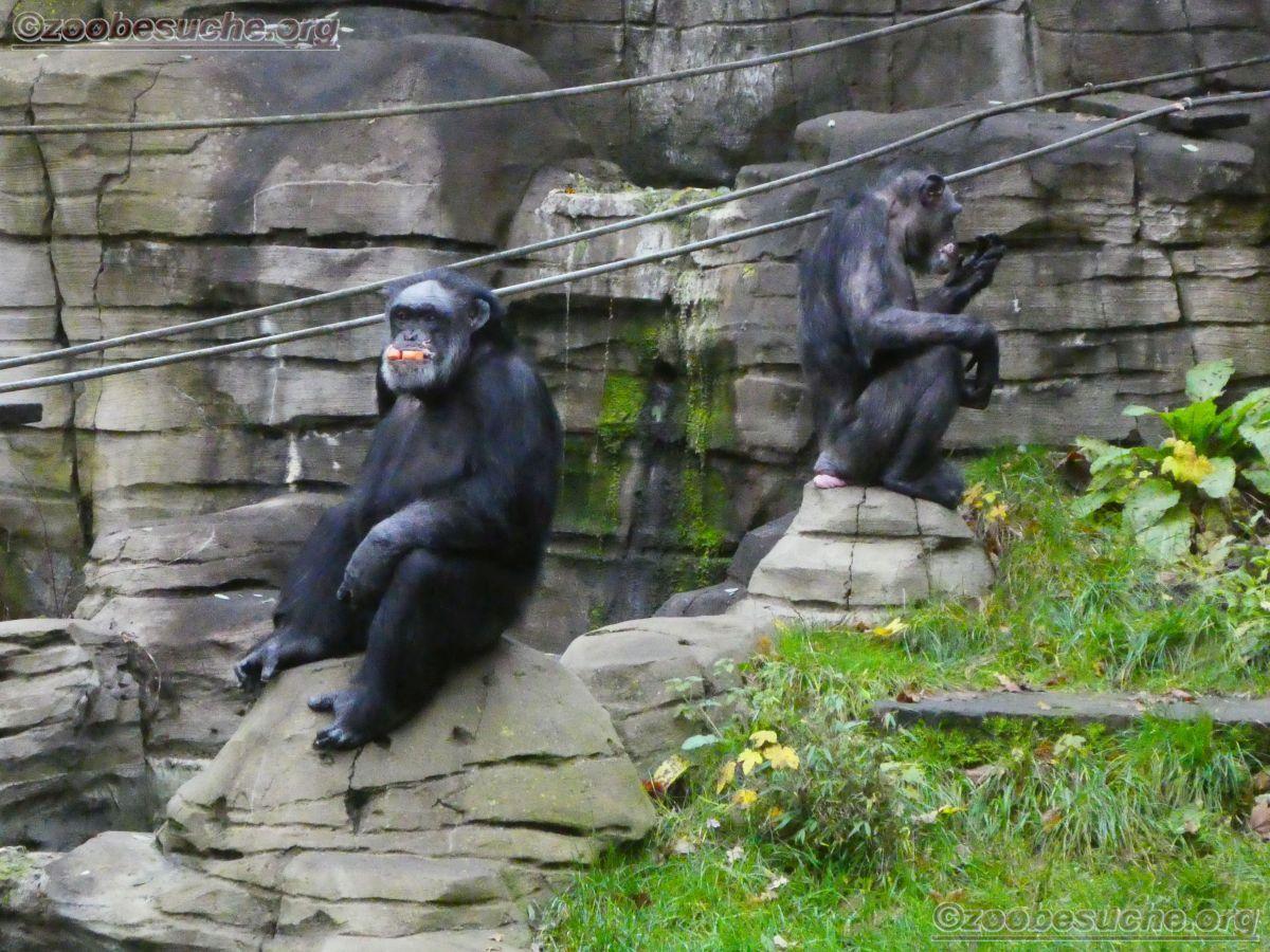 Schimpansen  (7)