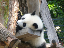 Panda Jungtier  (21)