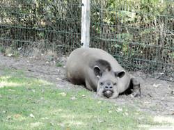 Tapir  (2)