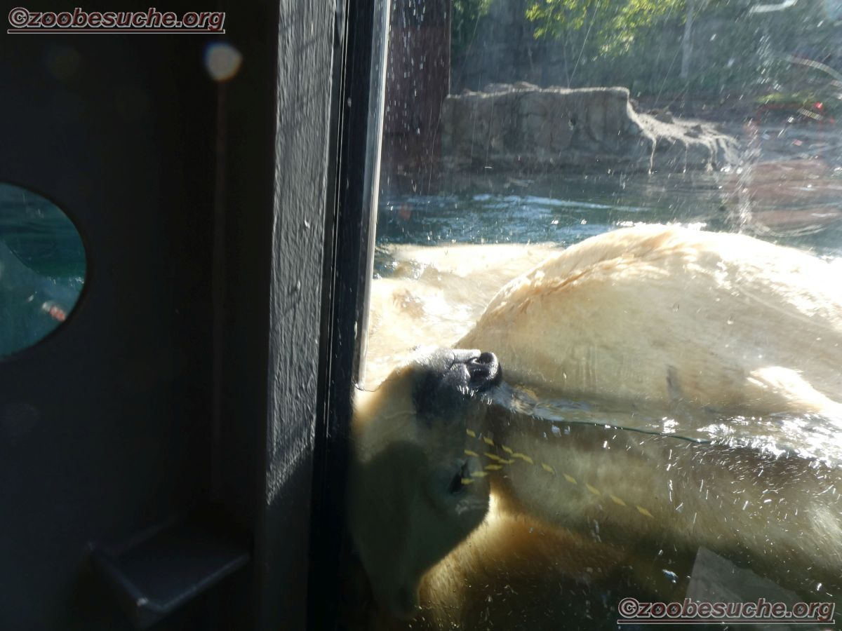 Eisbär  (16)